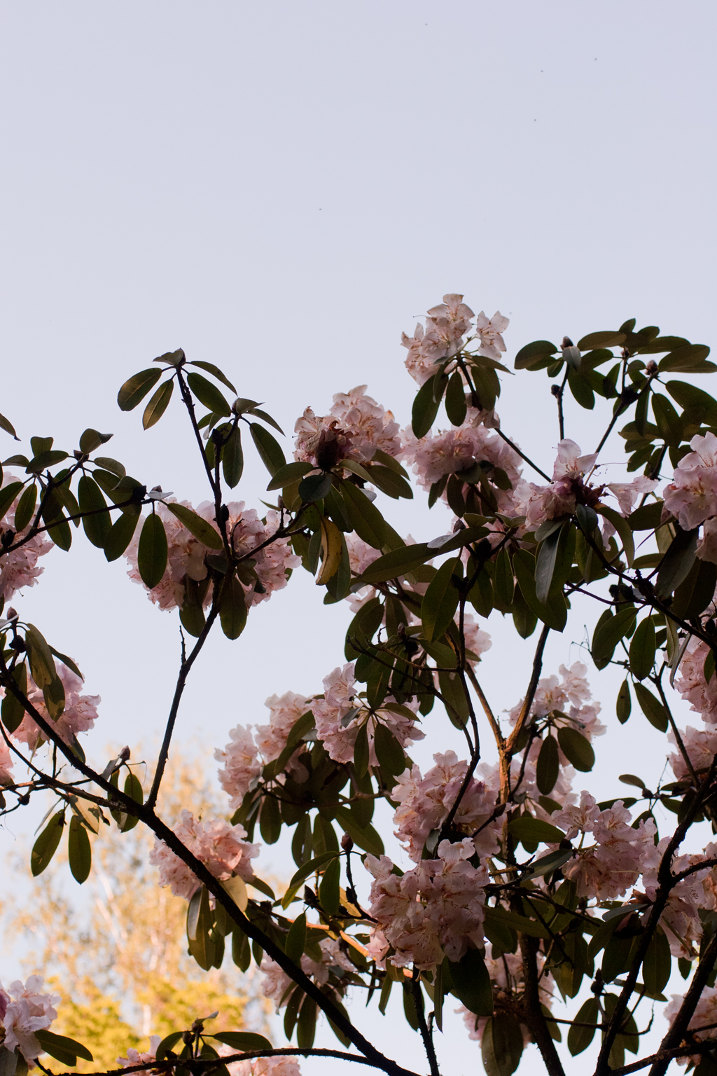 Rhododendron_IMG_8376